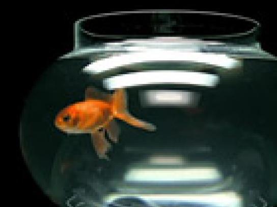 Roy Awards Film Ad -  Gold fish