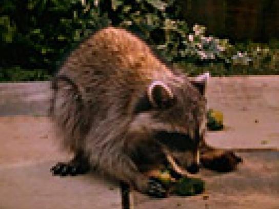 Toronto Ble Jays Film Ad -  Veggie