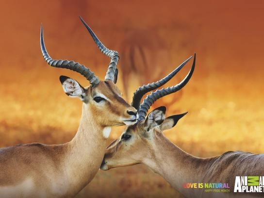 Animal Planet Print Ad - Love is Natural - Impalas