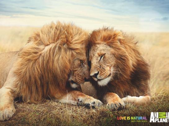 Animal Planet Print Ad - Love is Natural - Lions