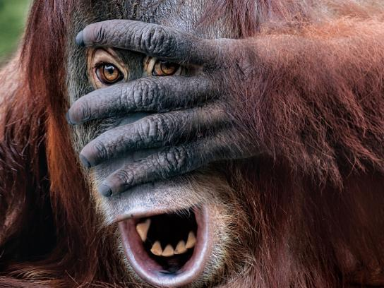 Adelaide Zoo Outdoor Ad -  Boo at the zoo - orangutan