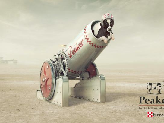 Purina Print Ad - Cannonball Cow
