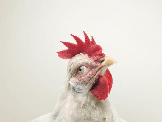 RSPCA Print Ad -  Chicken