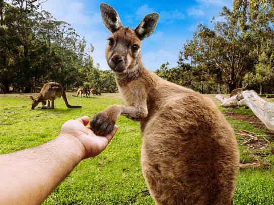 Cleland Wildlife Park Print Ad - Kangaroo