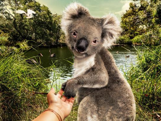 Cleland Wildlife Park Print Ad - Koala