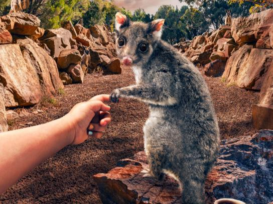 Cleland Wildlife Park Print Ad - Possum