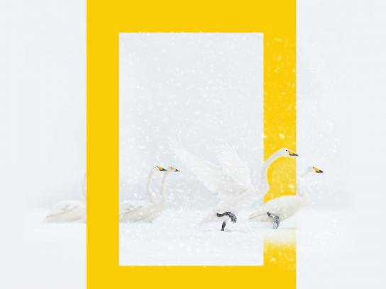 National Geographic Print Ad - National Geographic HD Channel winter programs - Ducks