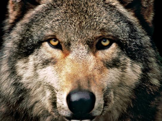 Hiltl Print Ad -  Wolf