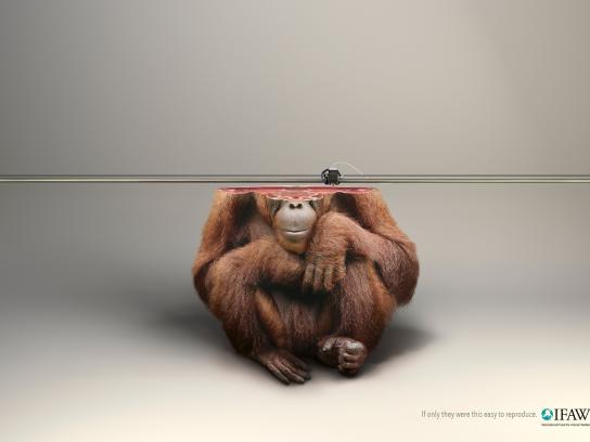 IFAW Print Ad -  Orangutan