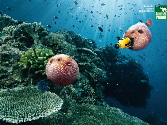 Animal Planet Print Ad -  Blowfish