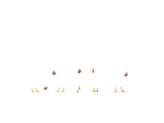 Winter Chickens