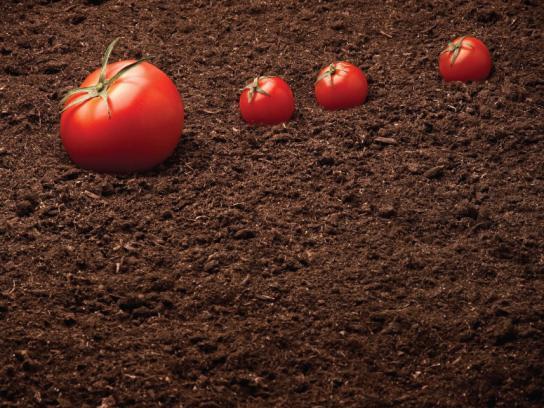 Calgary Farmers' Market Print Ad -  Tomatoes