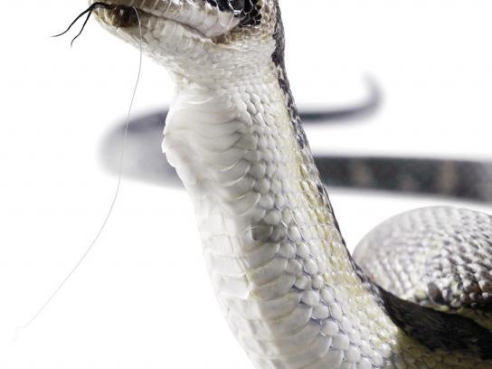 Rapala Print Ad -  Snake