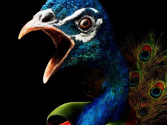 Veikkaus Print Ad -  Peacock