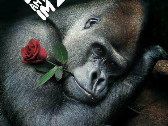 Zoo Cologne Print Ad -  Knight of the Roses, Gorilla