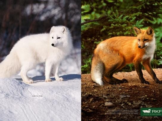 RKF Print Ad -  Arctic fox