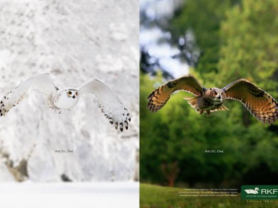 RKF Print Ad -  Arctic owl