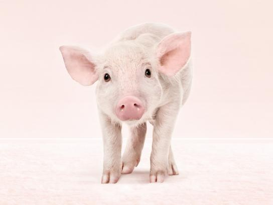 Chofitol Print Ad -  Digestivo Natural, Pig