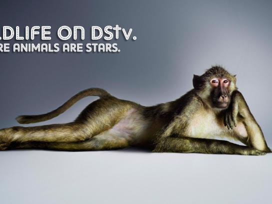 DStv Print Ad -  Baboon