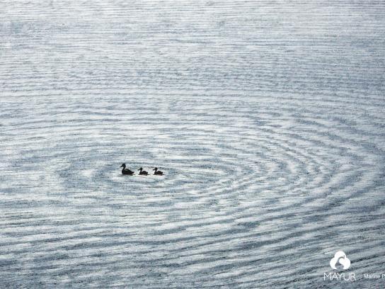 Mayur Ply Print Ad -  Duck