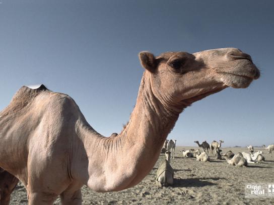 IM Print Ad -  Camel