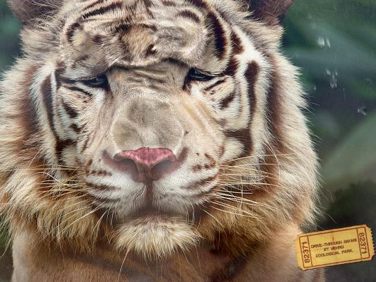 Nehru Zoological Park Print Ad -  Tiger