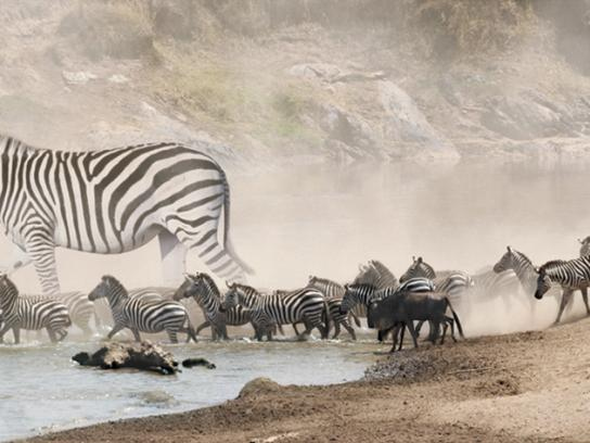 Ramrod Print Ad -  Zebra