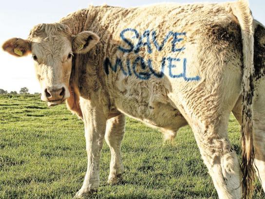 Amorim Print Ad -  Cow