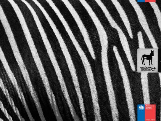 Zoologico Nacional Print Ad -  Zebra