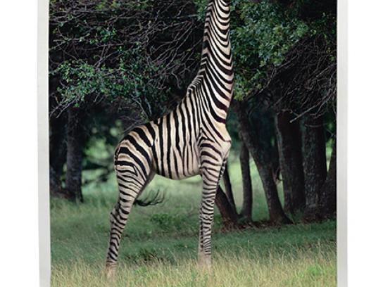 Minnesota Zoo Print Ad -  Giraffe