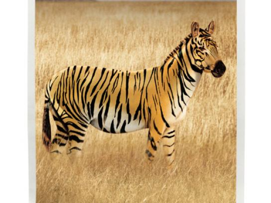 Minnesota Zoo Print Ad -  Zebra