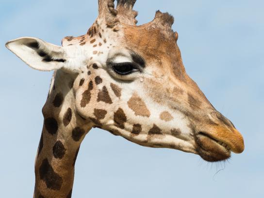 Land Rover Print Ad - Giraffe