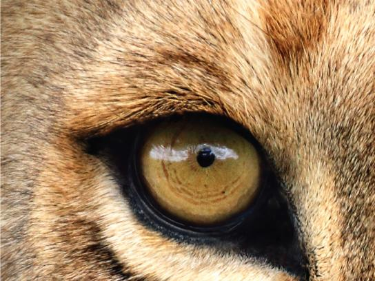 Lavera Print Ad - Lavera Eyeliner - Lion