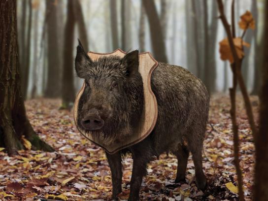 Fleetwood Archery Print Ad -  Live mount, Boar