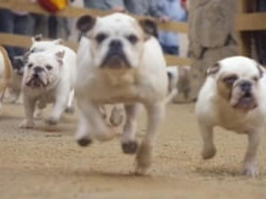 Geico Film Ad - Bulldogs