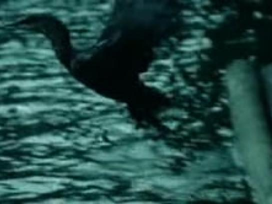 HSBC Film Ad -  World Selections Cormorant