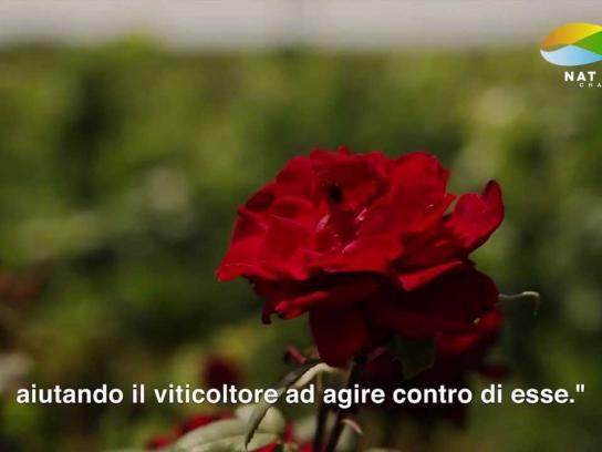 Pico Maccario Digital Ad -  The Carnivorous Rose