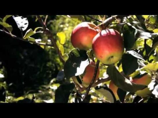 Batlow Film Ad -  Apple Harvest 2011