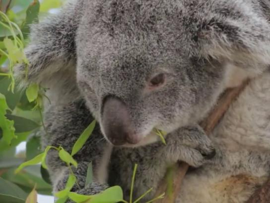 Mother Film Ad - Happy Human Mother's Day - Koala
