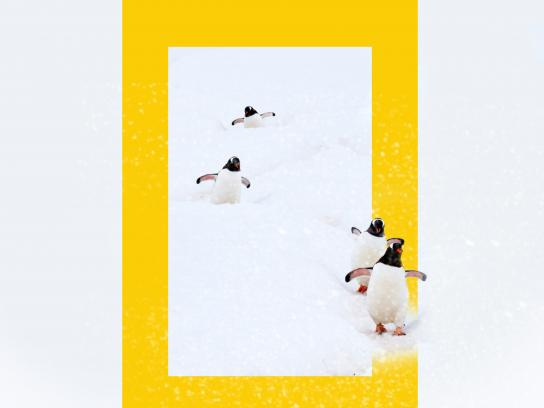National Geographic Print Ad - National Geographic HD Channel winter programs - Penguin