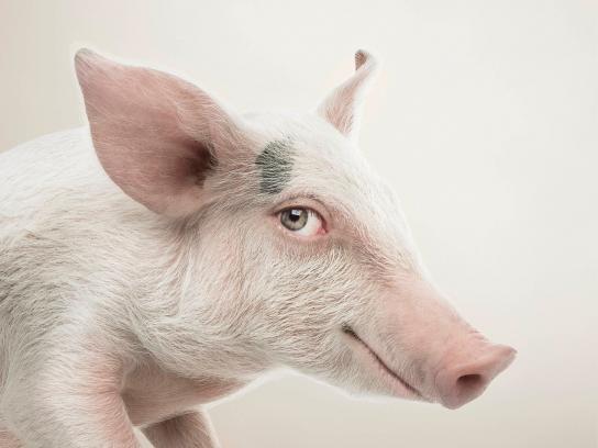 RSPCA Print Ad -  Pig