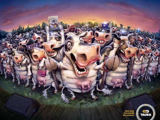 Taura Print Ad -  Cows