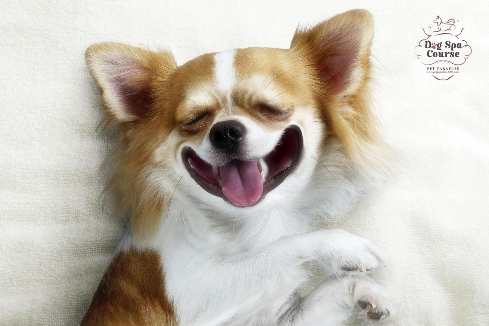 Pet Paradise Park Print Ad -  Heaven Of Chihuahua