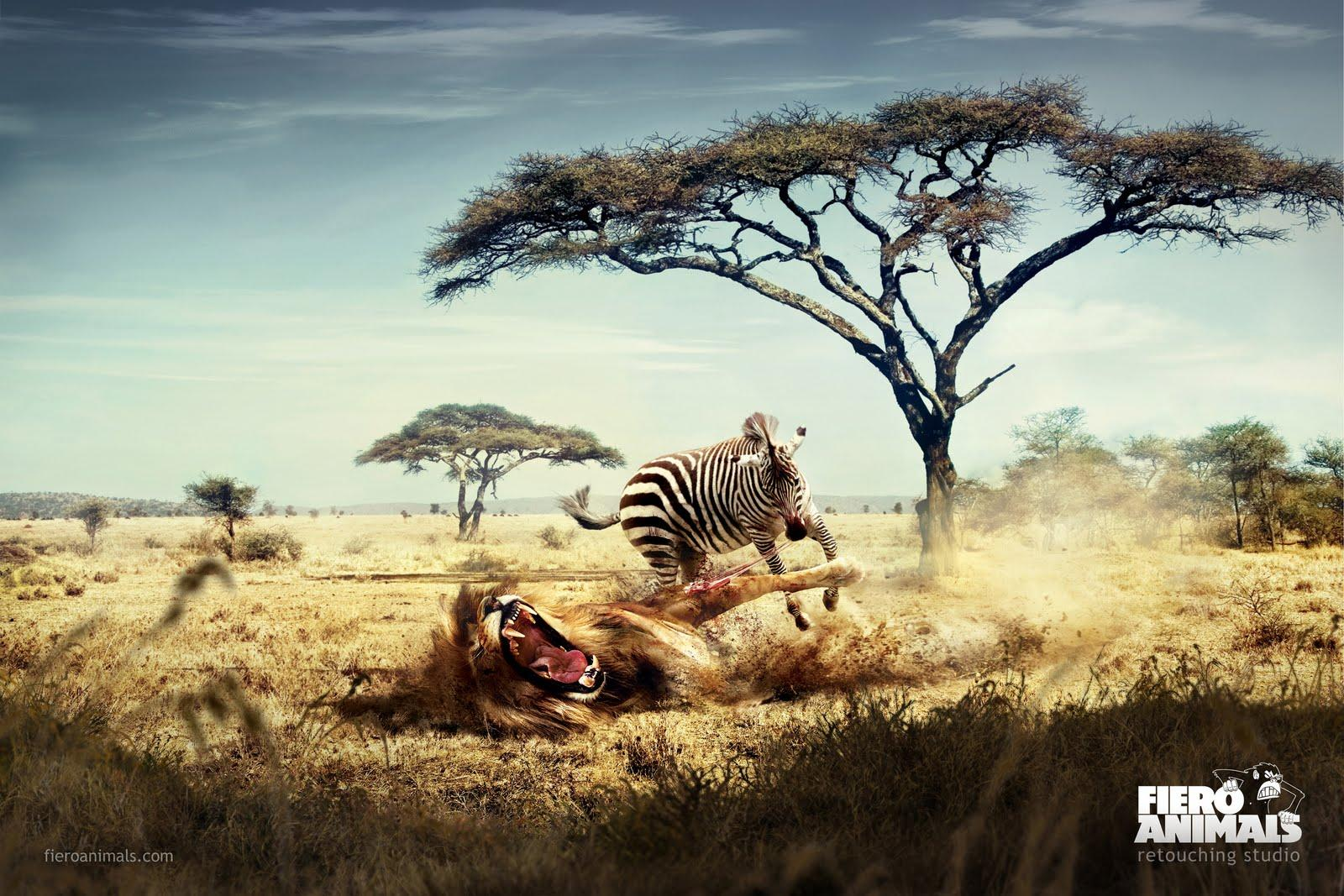 Fiero Animals Print Ad -  Lion Zebra