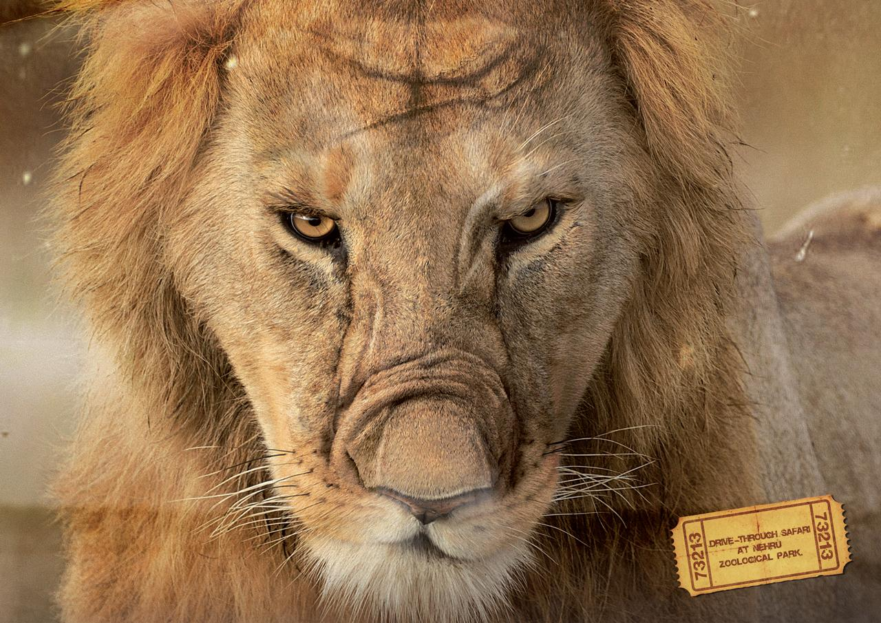 Nehru Zoological Park Print Ad -  Lion