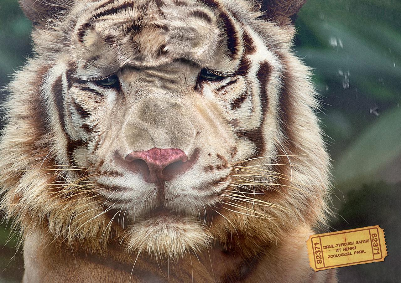 Nehru Zoological Park Print Ad -  Tiger