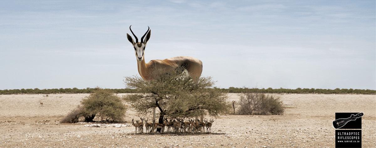 Ramrod Print Ad -  Springbok
