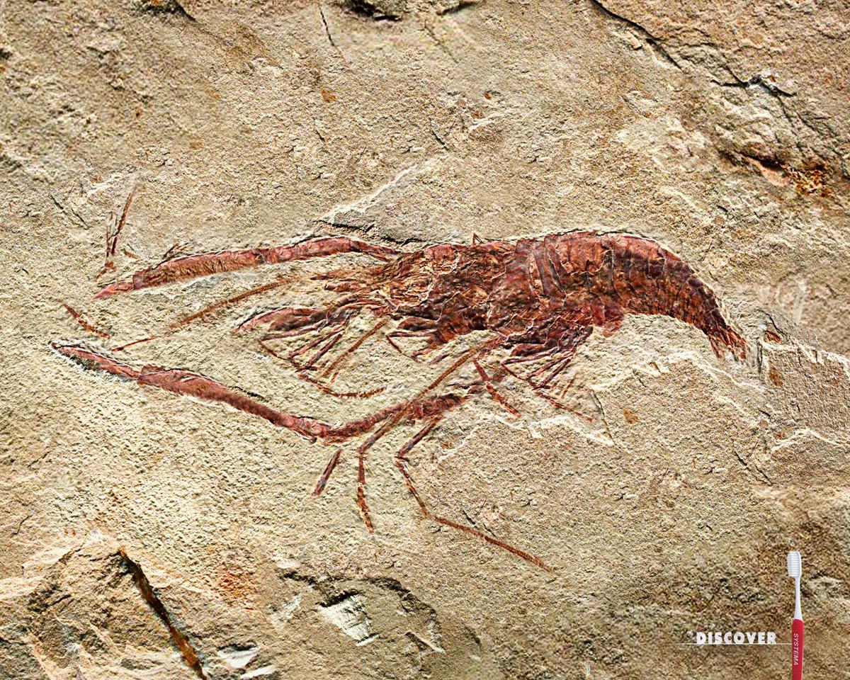 Systema Print Ad -  Shrimp Fossil