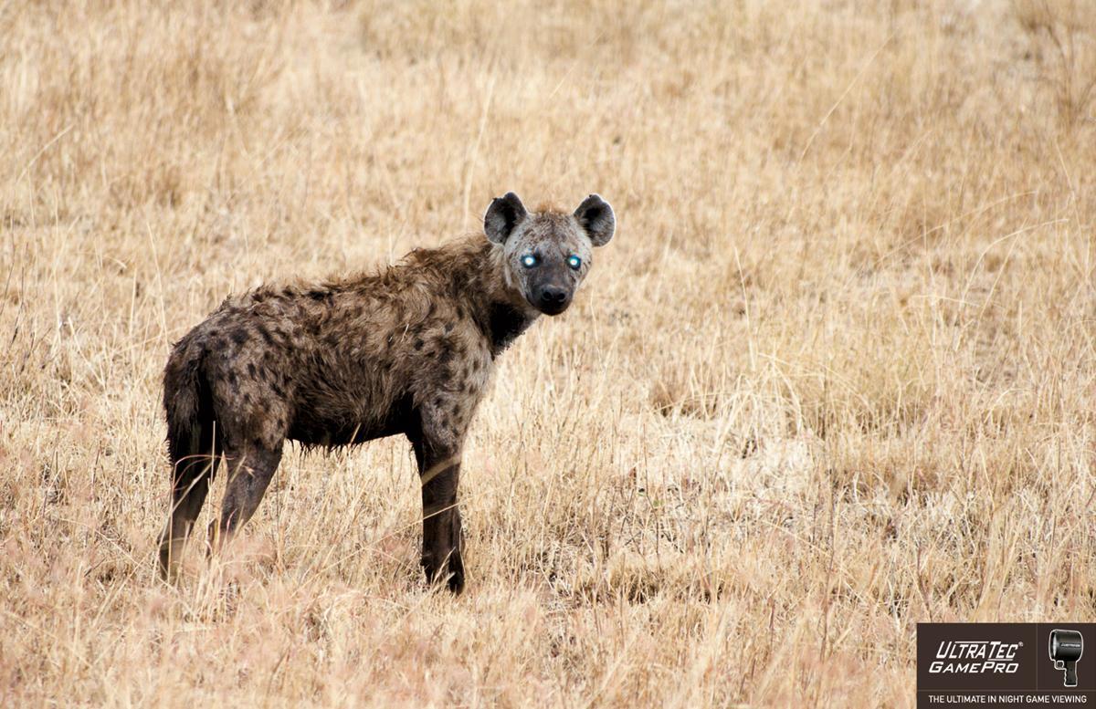 Ramrod Print Ad -  Hyena